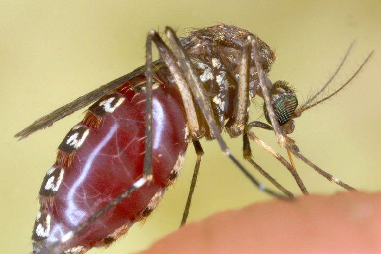 10 Sự thật thú vị về loài Muỗi