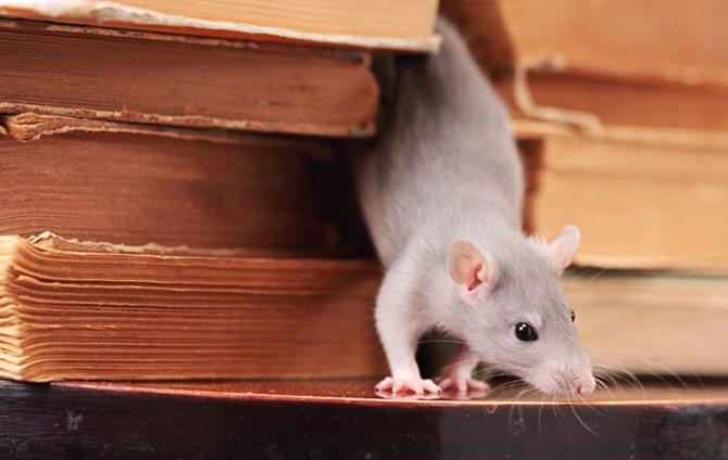 Chuột và những dấu hiệu nhận biết
