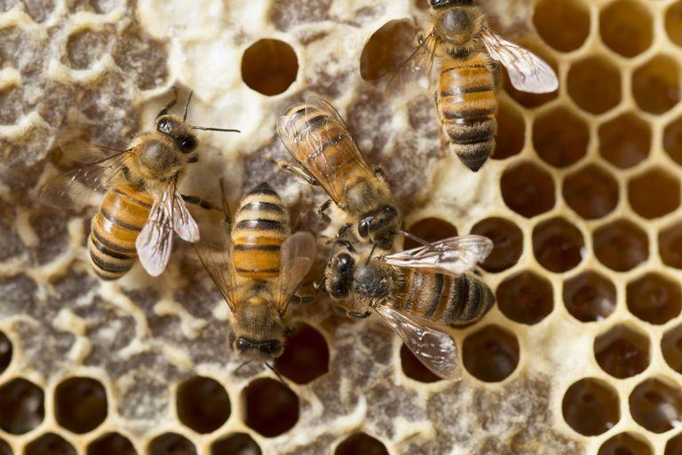 Vì sao ong đực chết sau khi giao phối với bạn tình ?