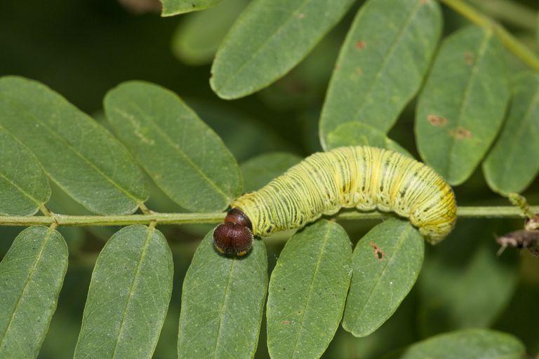5 Hình dạng ấu trùng của côn trùng