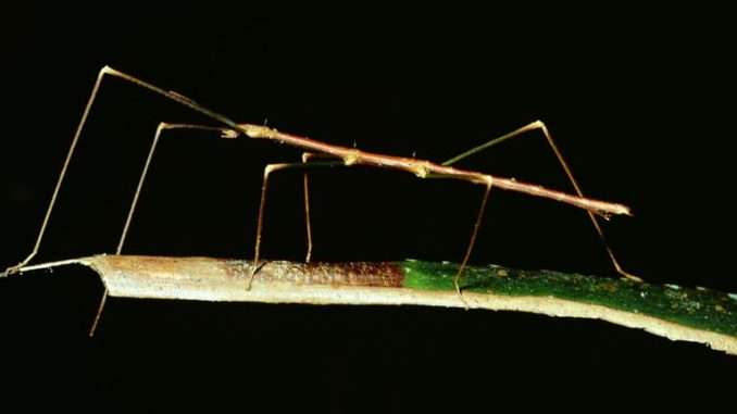 bo-que-stick-insects