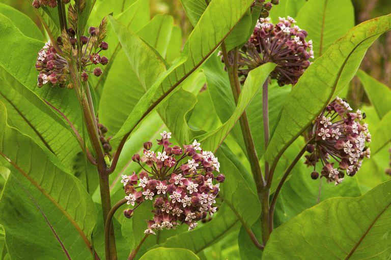 7 Loài côn trùng thường thấy trên cây bông tai (Milkweed)