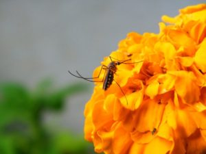 mosquito-on-flower
