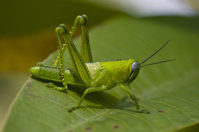 5 Loài côn trùng nhảy và bí mật bên trong những bước nhảy