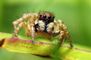jumping-spiders