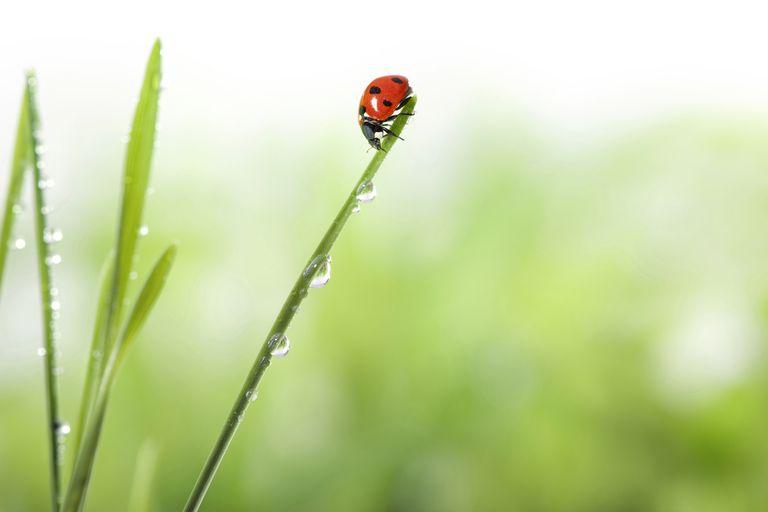 Có nên thả bọ rùa để kiểm soát sâu bệnh và côn trùng hại trong vườn ?