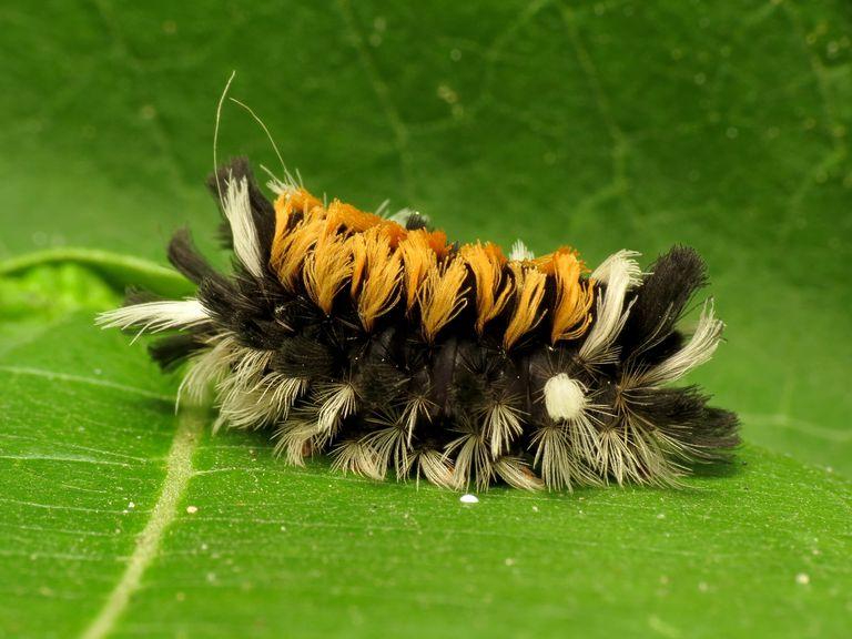 milkweed-tussock-moth-caterpillar-5839f8333df78c6f6a672123