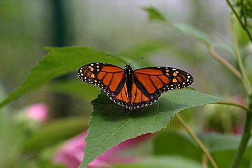 monarch-58b8deab3df78c353c240a4a