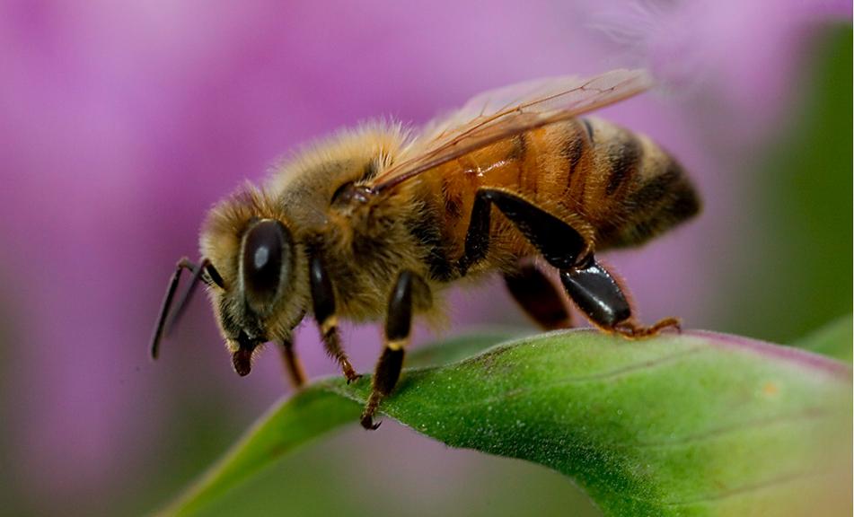 Những loài ong phổ biến ở nước ta và cách chữa vết đốt của chúng