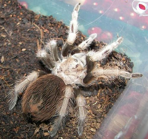 Aphonopelma_chalcodes-56a51f6a3df78cf772865c2e