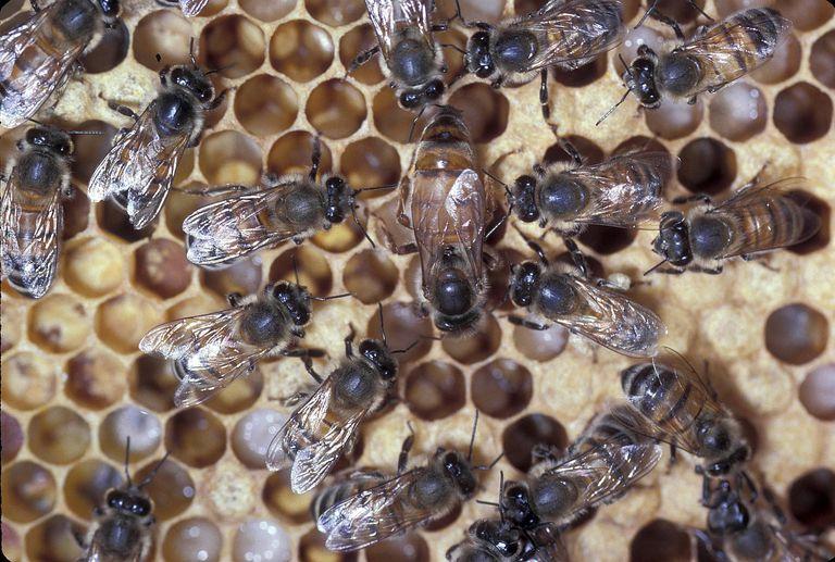 Vai trò của ong chúa, ong thợ và ong đực trong tổ