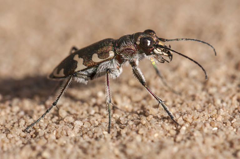 Bọ cánh cứng hổ – loài côn trùng chạy nhanh nhất thế giới