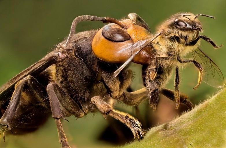 Vì sao Ong bắp cày xé ong mật ra làm đôi ?