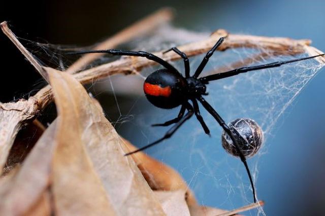 Tìm hiểu về nhện góa phụ đen – Thế giới côn trùng