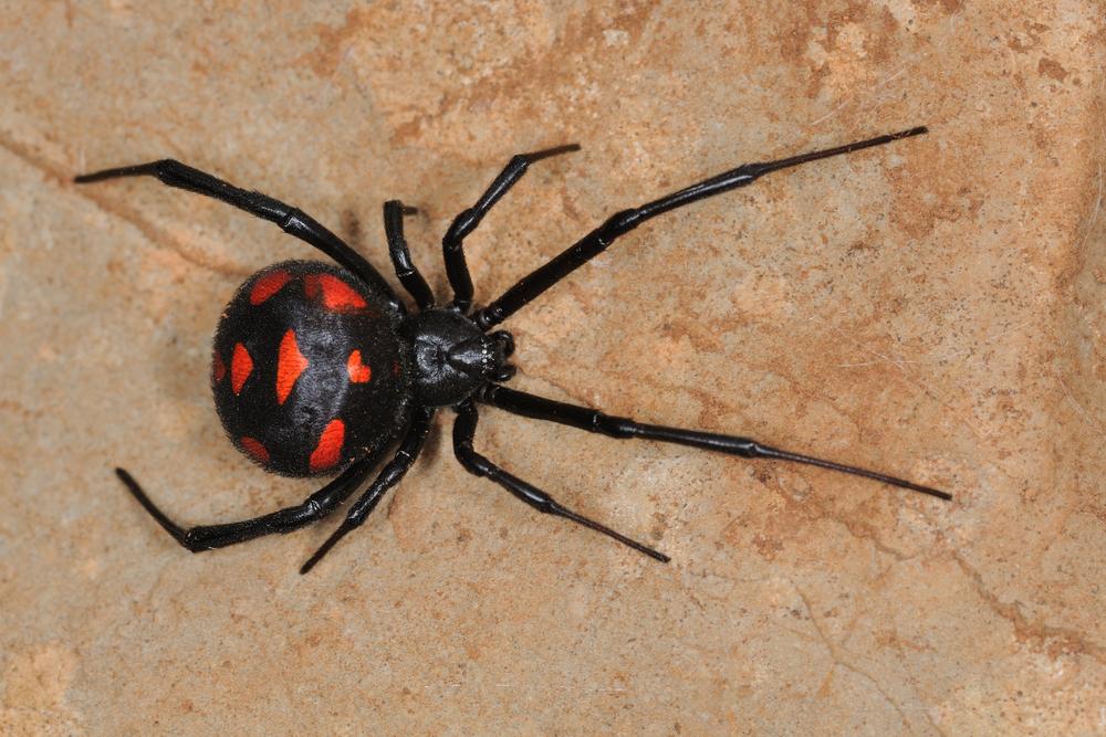 Nhện độc – Top 7 loài nhện có vết cắn cực độc