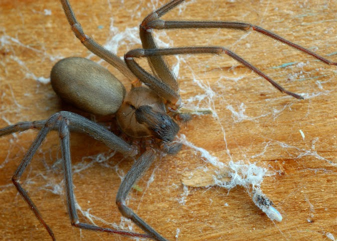 brown-recluse-shutterstock-7965667-WEBONLY