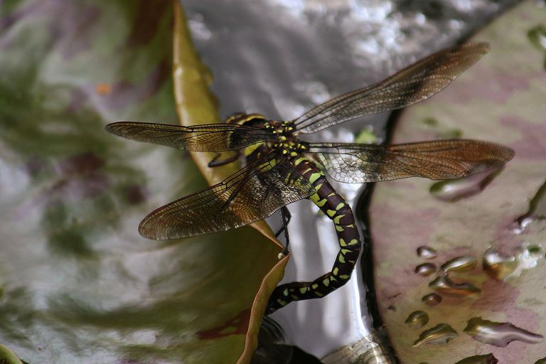dragonfly-laying-eggs-58b8dfea5f9b58af5c901d26