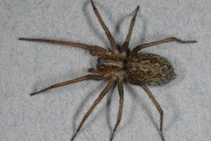 nhen-hobo-spider