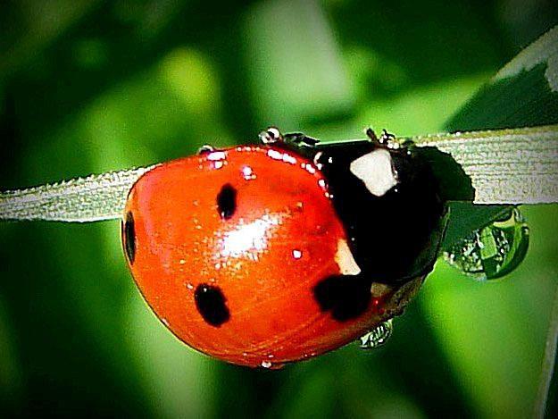 ladybug-adult-58b8deca3df78c353c240ded