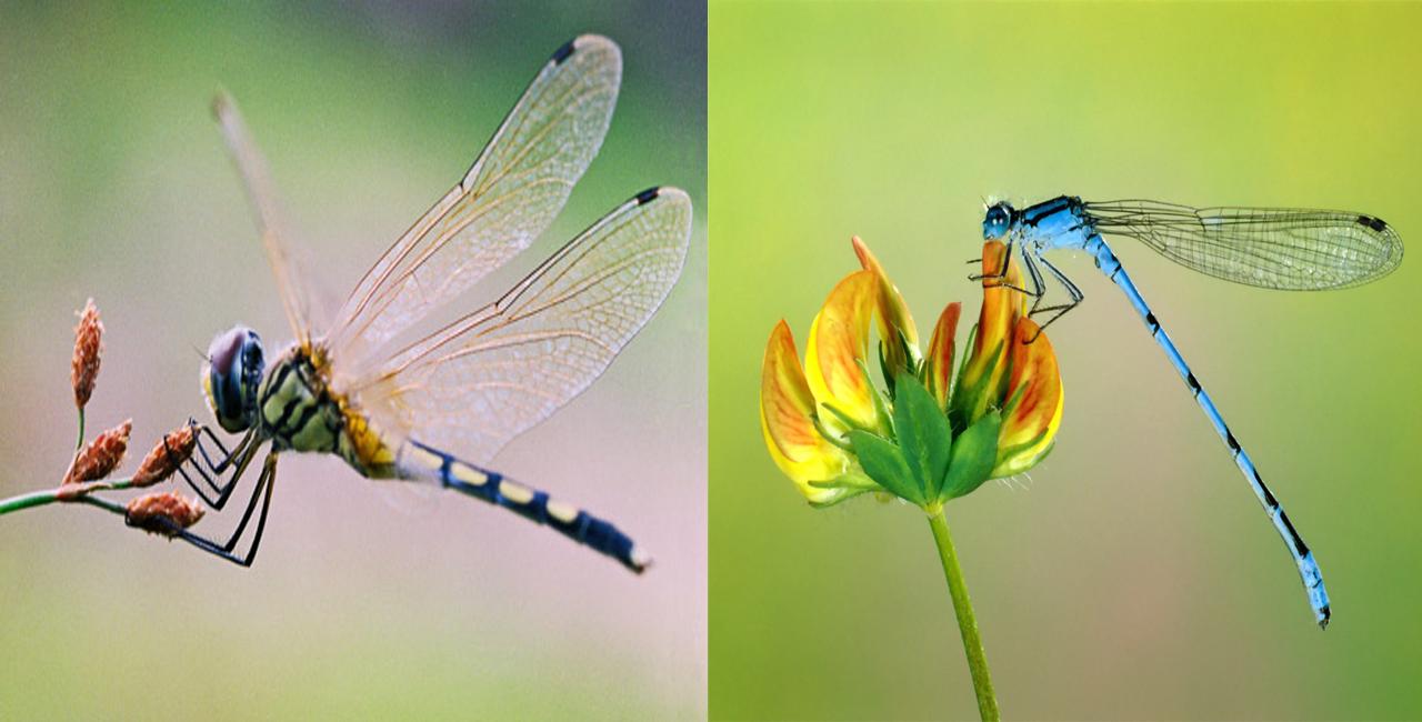 Sự khác biệt giữa chuồn chuồn ngô và chuồn chuồn kim