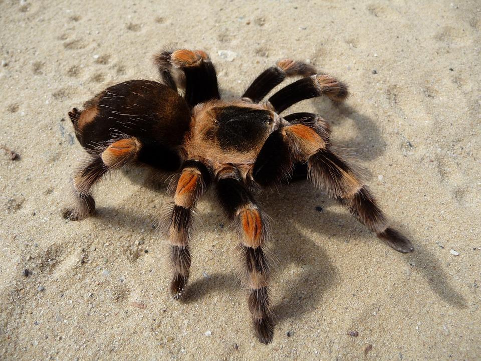 10 Sự Thật Thú Vị Về Nhện Tarantula
