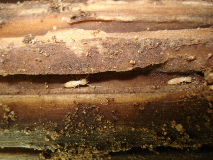 Vì sao mối chỉ ăn gỗ mà vẫn sống được ?