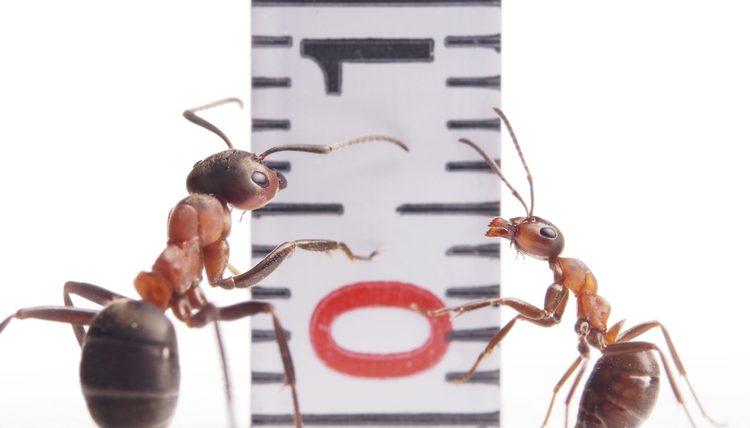 Vận tốc của kiến là bao nhiêu ?
