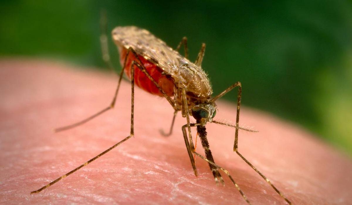 Muỗi Anophen nguy hiểm như thế nào ?