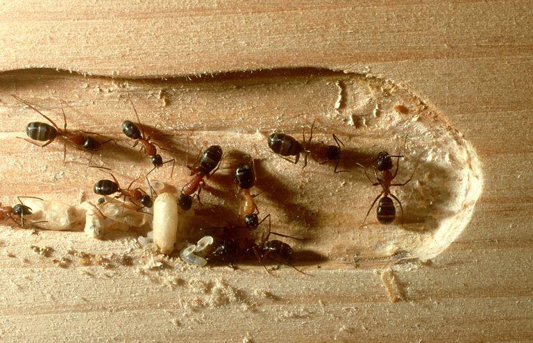 Kiến thợ mộc (Carpenter Ants)