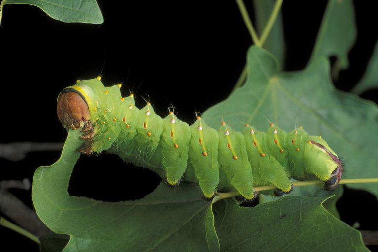 Sâu bướm ăn gì để sống?
