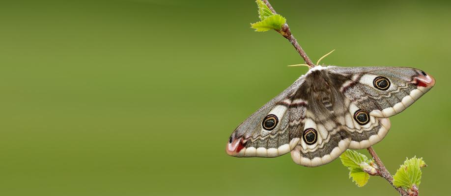 emperor-moth—iain-h-leach