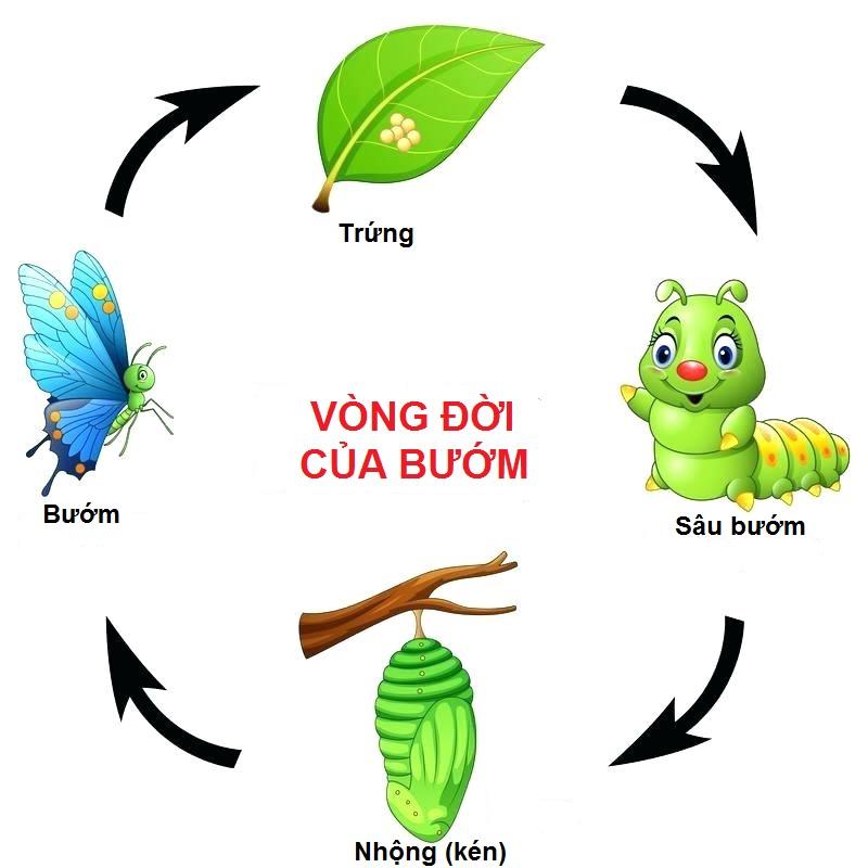 vong-doi-cua-buom