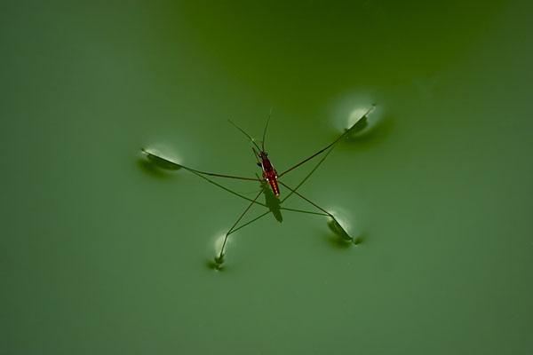 5 Loài côn trùng sống trên mặt nước