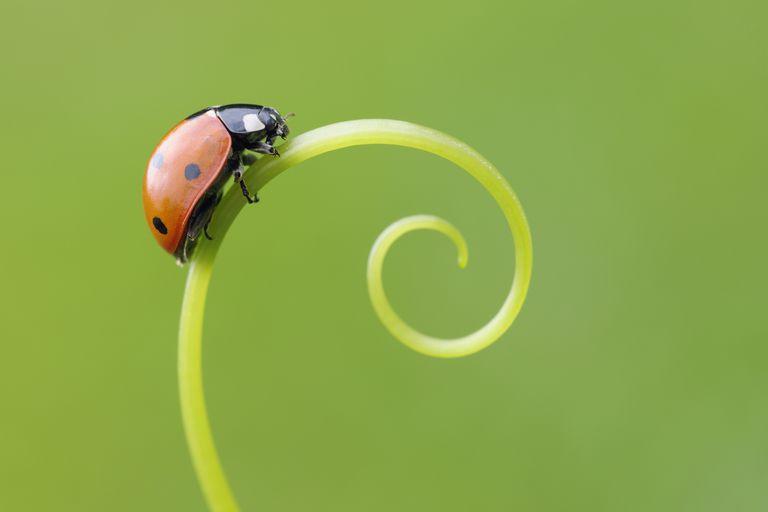 10 Sự thật thú vị về Bọ rùa (Ladybug)
