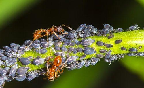 Rệp vừng (Họ Aphididae)