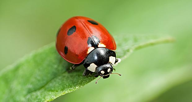 bọ rùa; ladybugs; tìm hiểu về bọ rùa; bọ rùa ăn gì; đặc điểm và tập tính của bọ rùa;