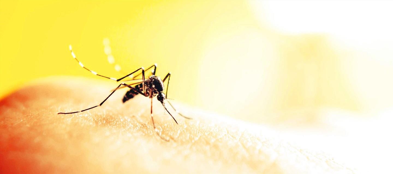 Tìm hiểu về loài Muỗi (họ Culicidae)