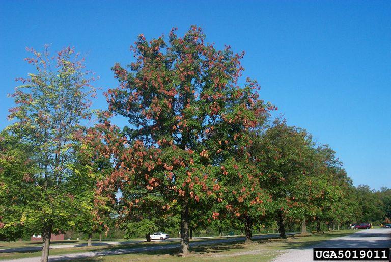 Ve sầu có hại cho cây không ?