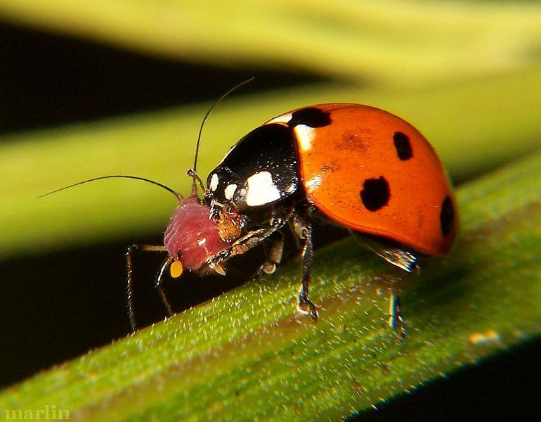 Coleoptera-4