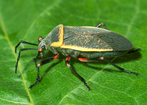 Bộ cánh nửa (Hemiptera)