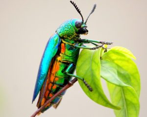 Jewel-Beetles