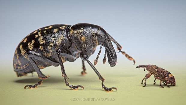 snout beetles