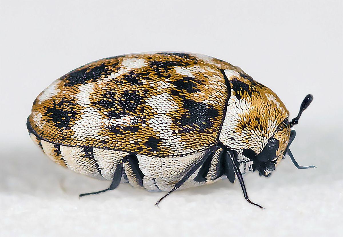Dermestidae Beetles