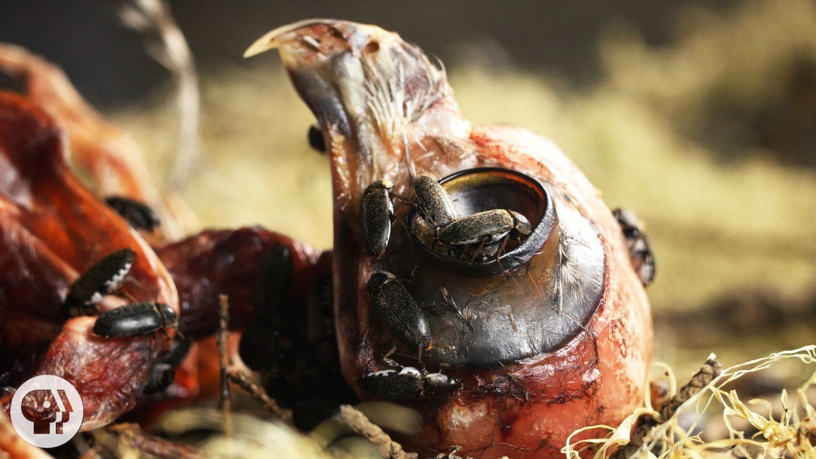 Dermestids beetles