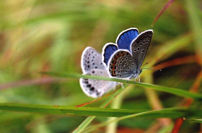 karner butterfly