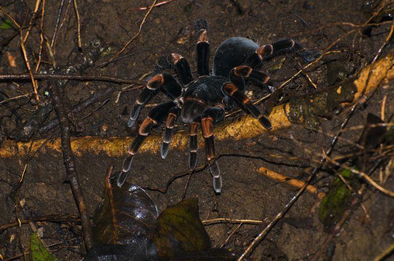 Nhện khỉ đầu chó Hercules (Hercules Baboon Spider)