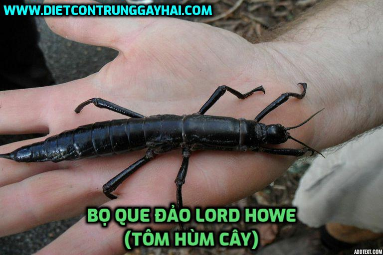 bo-que-dao-Lord-Howe-Tom-hum-cay
