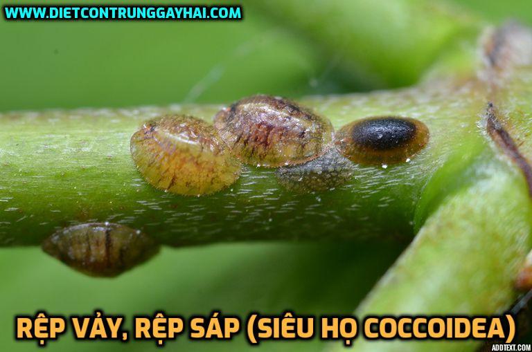rep-vay-Coccoidea
