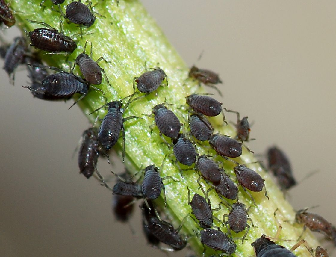Rệp (Aphids)