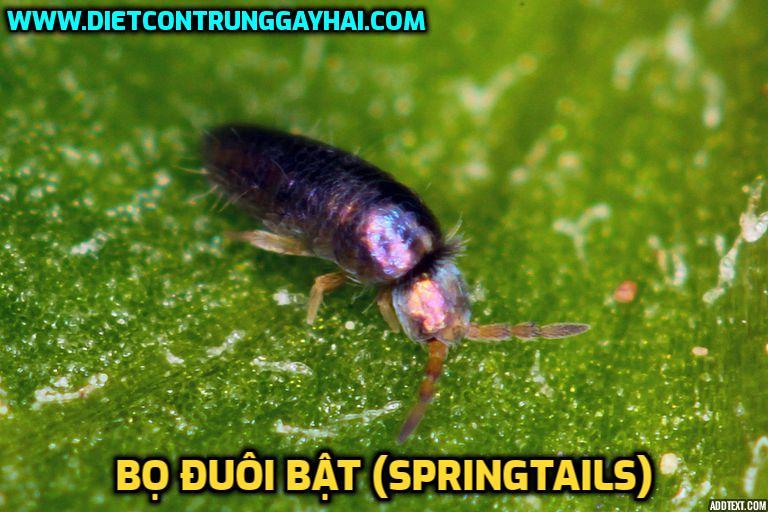 bo-duoi-bat-Springtails